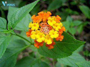 Lá hoa ngũ sắc cũng chữa viêm mũi dị ứng được