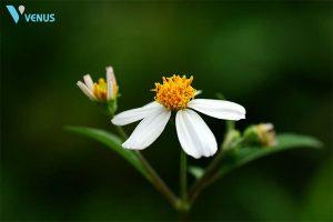 Chữa viêm mũi dị ứng bằng lá cây hoa xuyến chi