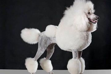 Nguồn gốc , đặc điểm , cách phân loại và chăm sóc chó Poodle chi tiết nhất !
